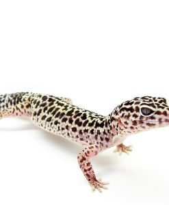Leopard Gecko Substrate